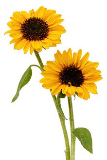 Fertility treatment and courses. Library Image: Sunflowers